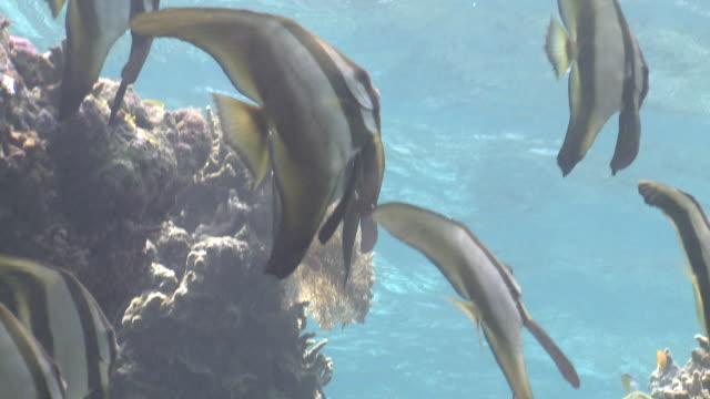 vídeos y material grabado en eventos de stock de long fin batfish (platax teira) closer  - grupo mediano de animales