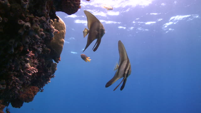 long fin batfish (platax teira) pair  - pair stock videos & royalty-free footage