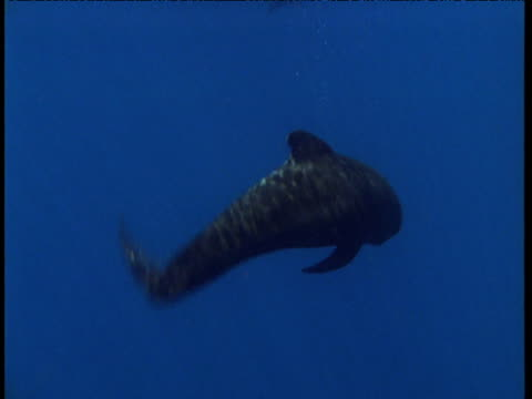 Long finned pilot whale spins and thrashes tail underwater, Spain
