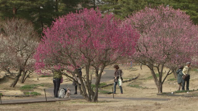 long fixed shot of park visitors with dogs walking around bright pink plum trees in hitachinaka kaihin koen . - plum stock videos & royalty-free footage