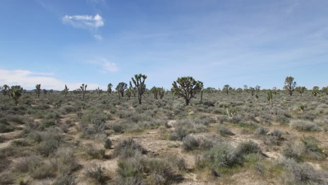 long flying low through joshua tree forest close - drone aerial video 4k joshua tree national forest, desert barren land, no people with remote location cactus california desert, mojave desert, with extreme terrain 4k nature/wildlife/weather - joshua tree national park stock videos & royalty-free footage