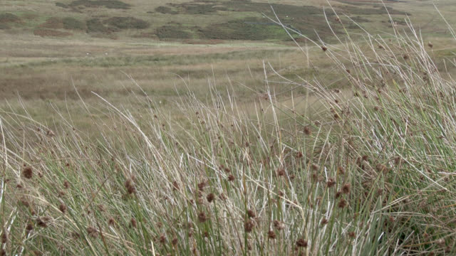long grass blowing in the wind in scottish countryside - terreno accidentato video stock e b–roll