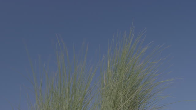 Long grass blowing in the wind on a beach.