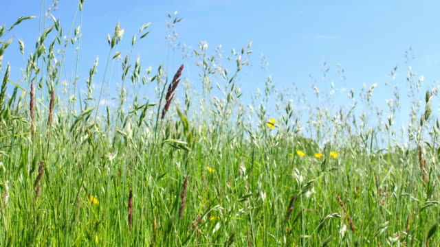 long grass in a meadow blowing in the wind. - focus on foreground stock videos & royalty-free footage
