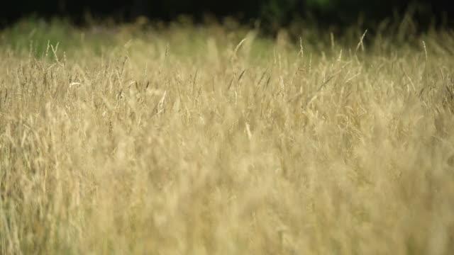 vidéos et rushes de long grass seed heads wave in wind - lockdown