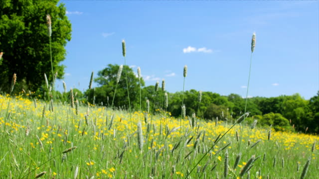 long grass with seed heads in a meadow blowing in the wind. - grass family stock videos & royalty-free footage