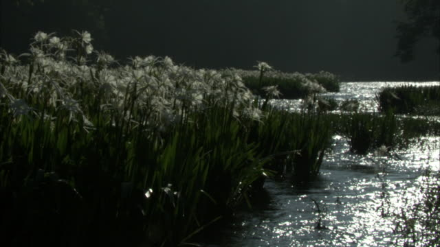 long grasses grow along a river. - aquatic plant stock videos & royalty-free footage