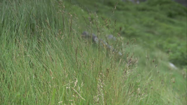 long grasses move in a breeze. available in hd. - isole ebridi video stock e b–roll