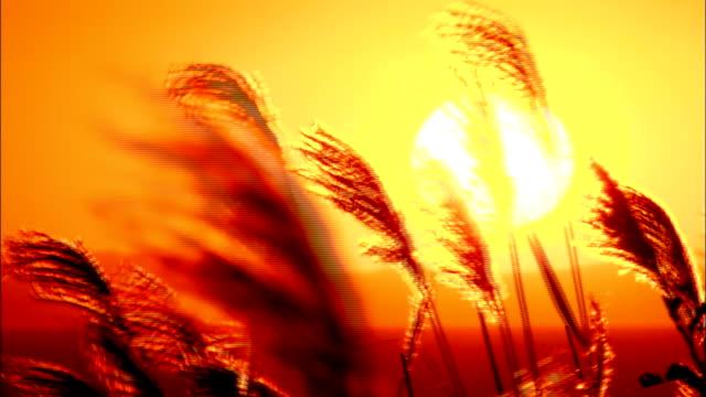 vídeos y material grabado en eventos de stock de long grasses swaying in breeze as sun sets in background - con mucha luz