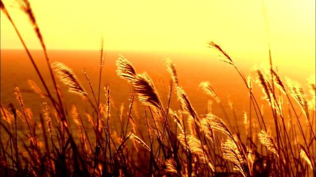 long grasses swaying in breeze at sunset, muroran, japan. - 小麦点の映像素材/bロール