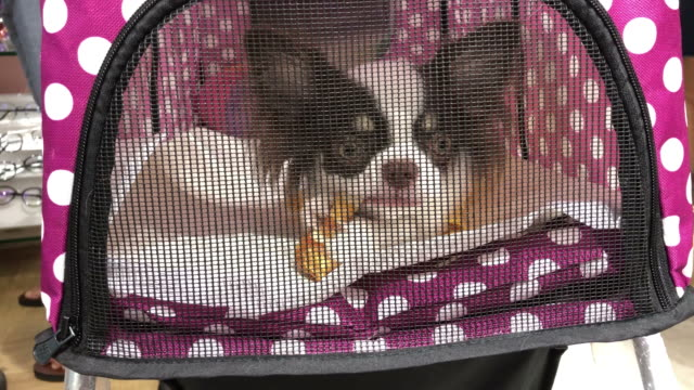 long hair miniature chihuahua relax in shopping cart - full stock videos & royalty-free footage