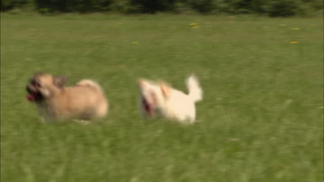 ms, pan, long haired chihuahua puppy and mixed breed puppy running in grass - chihuahua dog stock videos and b-roll footage