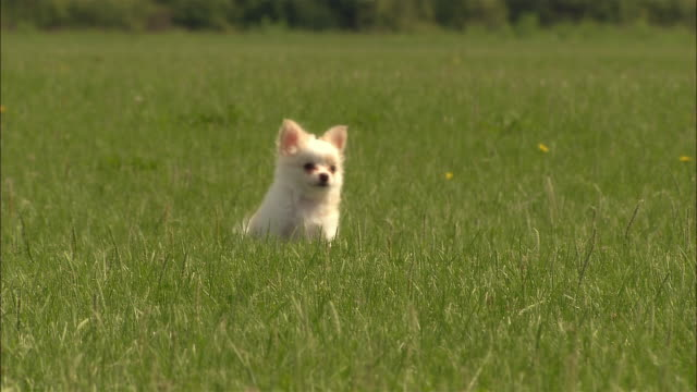 MS, CU, Long haired chihuahua puppy running in grass
