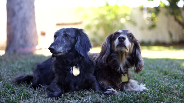 long haired dachshund pets in backyard - small stock videos & royalty-free footage
