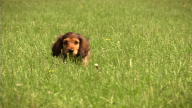 vidéos et rushes de ms, long haired dachshund puppy running in grass - mignon