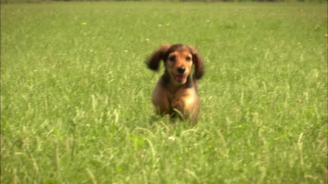ms, cu, focusing, long haired dachshund puppy running in grass - running stock videos & royalty-free footage