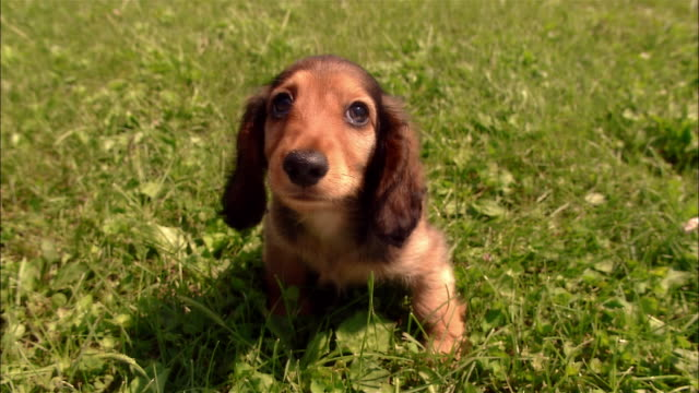 cu, long haired dachshund puppy sitting on grass - rassehund stock-videos und b-roll-filmmaterial