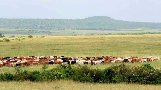 stockvideo's en b-roll-footage met lange hoorn afrikaanse veestapel - texas longhorn