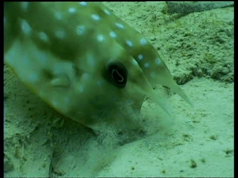 long horned cowfish feeding on sand, mabul - conceptual symbol stock videos and b-roll footage