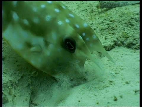 long horned cowfish feeding on sand, mabul - pälsteckning bildbanksvideor och videomaterial från bakom kulisserna