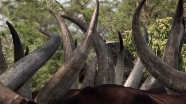 long horns of ankole domestic cattle, uganda - horned stock videos & royalty-free footage