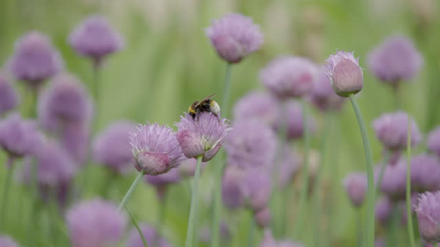 long lens shot of a bee collecting pollen on a chive blossom - botany stock videos & royalty-free footage