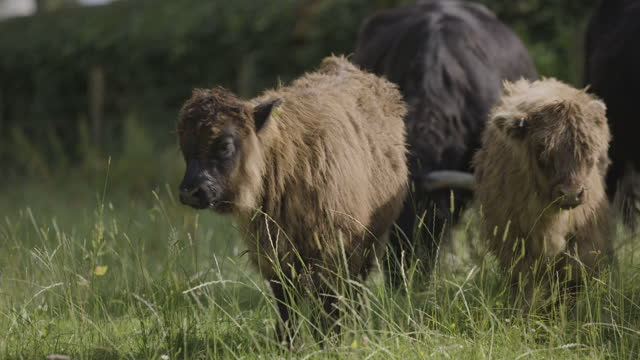 long lens shot of a herd of highland calves walking in the field - hooved animal stock videos & royalty-free footage