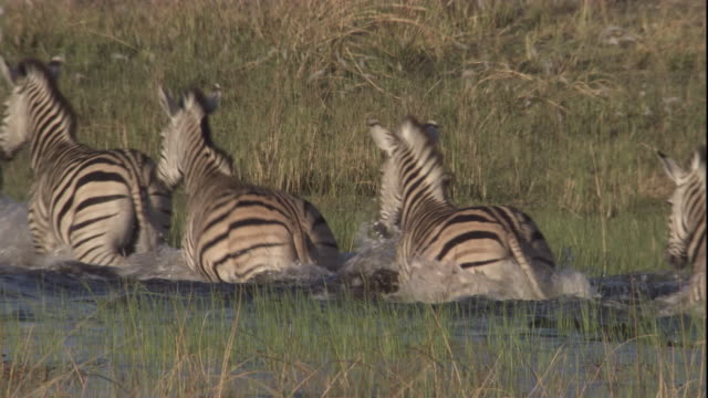 a long line of zebras wades through deep flood waters. available in hd. - coastal feature stock videos & royalty-free footage