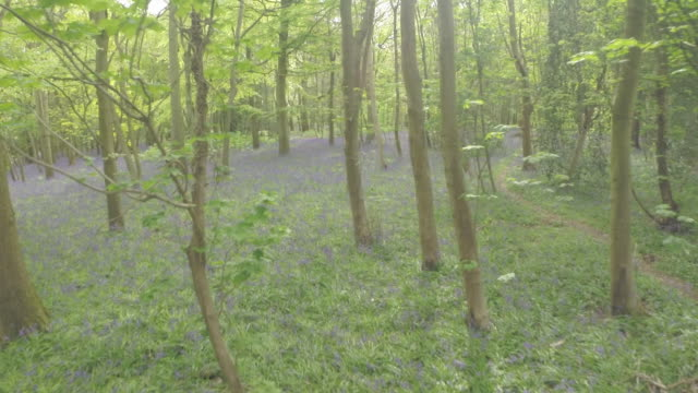 Long low aerial track through bluebell woods