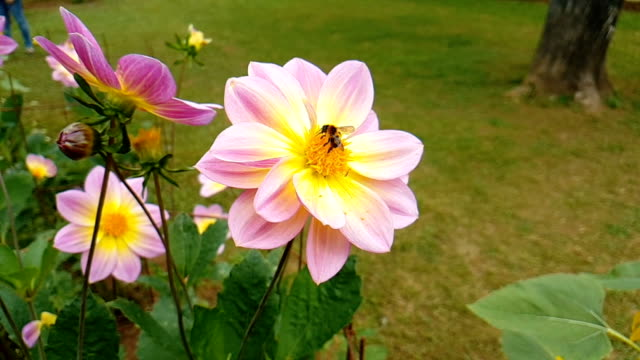 Long nose honey bee collecting pollen from a beautiful flower.