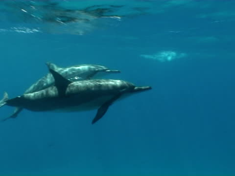 long nose spinner dolphins, stenella longirostris, move through frame, close up, cu, fernando de noronha, brazil - cetacea stock videos & royalty-free footage