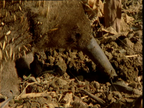 long nosed echidna probes snout into ground as it hunts for worms, papua new guinea - 突き出た鼻点の映像素材/bロール