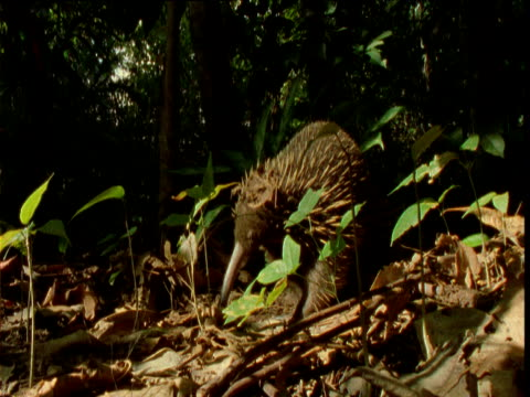 vidéos et rushes de long nosed echidna walks ponderously through forest, papua new guinea - long