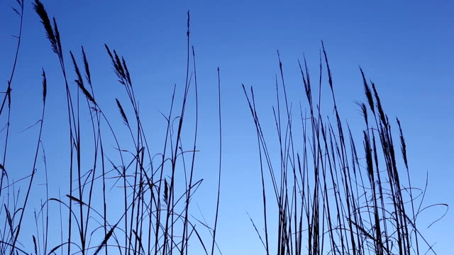 long pampas grass - plant stem stock videos and b-roll footage