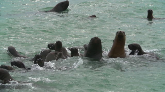 long pan over sea lions swimming in sea - uruguay stock videos & royalty-free footage