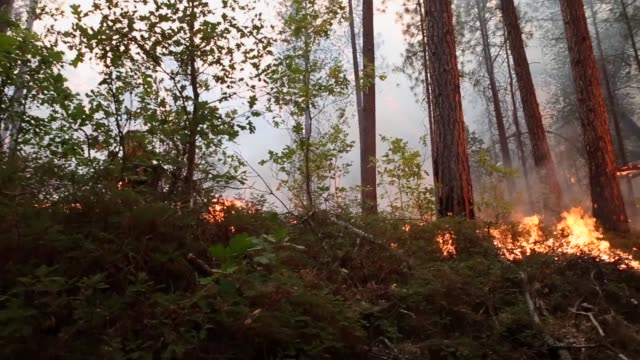 long panning shot, a firefighter walks across a burning forest. firefighters from ebbetts pass fire district light back fires as they battle the rim... - back lit stock-videos und b-roll-filmmaterial