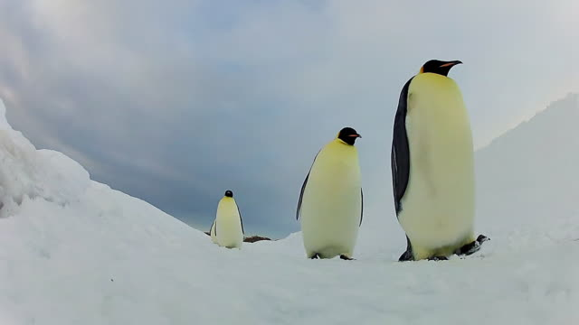 WS LA long procession of Emperor penguins walking on snowfield / Dumont D Urville Station, Antarctica, Antarctica