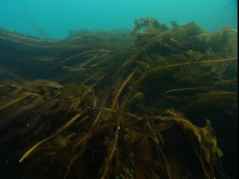 long sheaves of kelp undulate in the ocean's current. - kelp stock-videos und b-roll-filmmaterial
