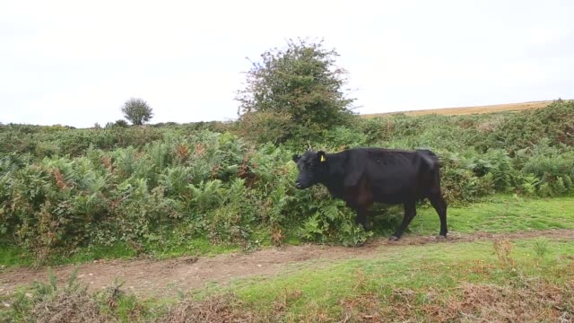 long shot a cow walking close to stage six of the tour of britain stage six of the tour of britain made history this year as it was the first stage... - tour of britain stock videos & royalty-free footage