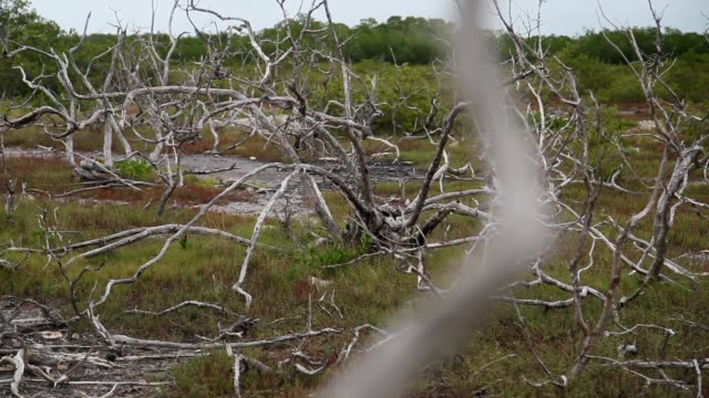 stockvideo's en b-roll-footage met long shot a dead buttonwood tree is seen as mangrove trees grow in their place after the buttonwood over a recent period of time have succumb to salt... - dood begrippen