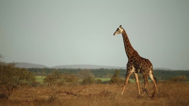 Long Shot A Giraffe walks across the frame in Kruger National Park The Kruger National Park was established in 1898 and is South Africa's premier...