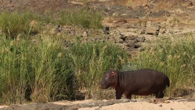long shot a hippopotamus is grazing on long grass on the banks of the river in kruger national park the kruger national park was established in 1898... - krüger nationalpark stock-videos und b-roll-filmmaterial
