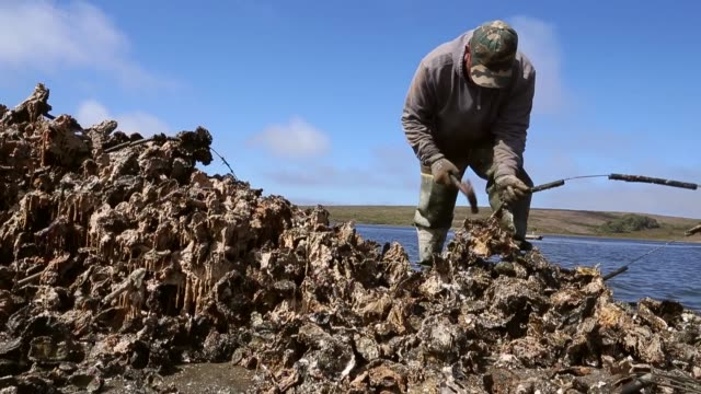 long shot a worker is using a hammer to separate oysters from clusters drakes bay oyster co workers sort freshly harvested oysters on september 4... - oyster shell stock videos & royalty-free footage