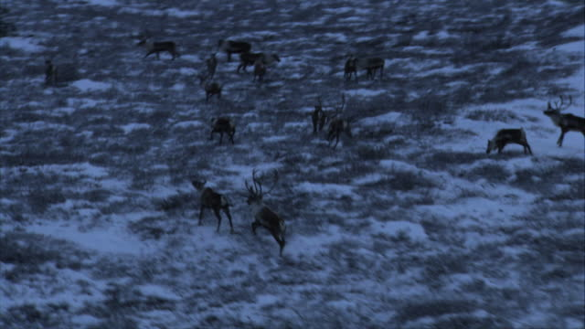 Long Shot aerial push-in tracking-left - A herd of caribou forage on the snowy tundra, then spook and run. / Alaska, USA