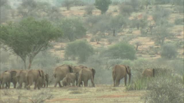 Long Shot - An elephant herd walks between shrubs on the African plains / Kenya