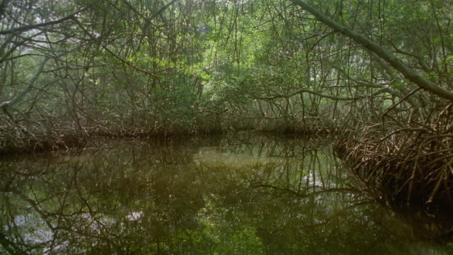 Long shot boat point of view moving under trees through swamp / Venezuela