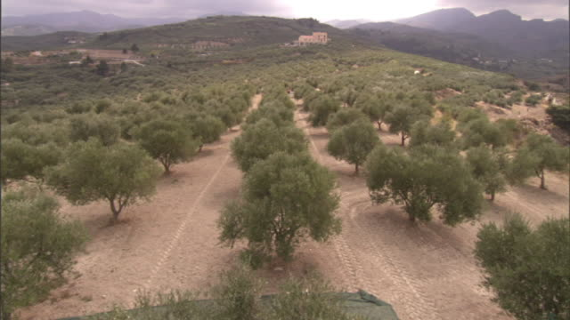 long shot crane tilt-down - a harvester shakes olive tree branches to harvest olives. / sicily, italy - orchard stock videos & royalty-free footage