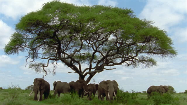 Long shot elephant bulls standing under large acacia tree / Kenya