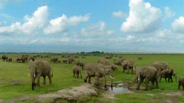 Long shot elephant herd walking past drinking hole / herds grazing in background / Amboseli National Park / Kenya