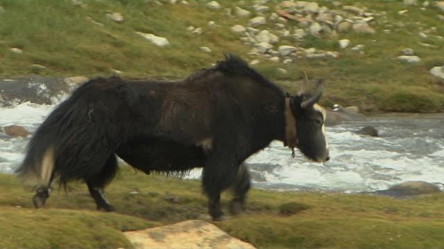 long shot follow shot yak walking near river lhasa tibet china  - yak stock videos & royalty-free footage